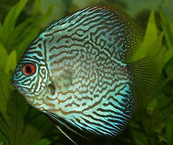 Photo of blue discus fish by Patrick Farrelly uploaded to wikipedia by user Gladstone